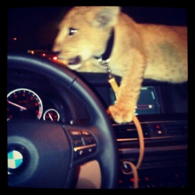 baby lion on dashboard